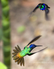 Hummingbirds in Flight (Rob Whittaker Photography) Tags: travel bird peru southamerica nature canon hummingbird hummingbirds canoneos animalplanet canoneos5d canonphotography southamericawildlife canoneos5dmkiii sazzoo robwhittaker robwhittakerphotography sazzoocom