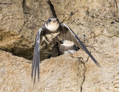 i can fly ! sand martin (Yvonne Alderson) Tags: summer cliff brown bird coast fly sand martin flight bank chick sandmartin fledged
