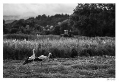 two storks (Alja Ani Tuna) Tags: two blackandwhite bw white tractor black bird nature grass animal clouds dinner year farming slovenia swamp ljubljana 16 nikkor f18 dailyphoto stork storks d800 16365 85mmf18 barje project365 nikkor85mm photo365 onephotoaday nikond800