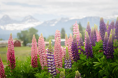 Lupines against the Tetons (ratulm) Tags: park travel fog barn spring national wildflowers wyoming tetons grandteton lupines
