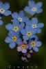 Myosotis sp. (iwanvh) Tags: flowers art nature fleurs flora artist photographer flore biodiversity iwan photographe naturalist naturaliste lozère environement iwanvh vanhoogmoed wwwiwanvhcom