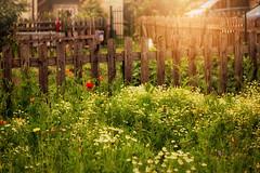 * (clo dallas) Tags: flowers summer sun colors field canon fence landscape colorful outdoor blumen sunburst fiori zaun landschaft sonne prato paesaggio bunte staccionata raggiodisole inexplore
