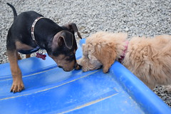2016-05-12 15.50.19 (A Place for Paws) Tags: foster doodle emmitt apap playday