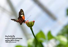 Butterfly Haiku (Don Iannone) Tags: butterfly haiku flowerandbutterfly butterflyhaiku
