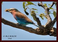 LILAC - BREASTED ROLLER (Coracias caudata).....MASAI MARA......SEPT 2015 (M Z Malik) Tags: africa nikon kenya wildlife ngc safari npc kws masaimara d3x exoticafricanbirds exoticafricanwildlife 200400mm14afs