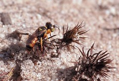 Dinetus pictus m - 04 VII 2016 (el.gritche) Tags: hymenoptera france 40 crabronidae dinetus pictus dinetuspictus male