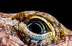 2016-07-11 23-23-39 (B,Radius50,Smoothing3)-Edit (Boy of the Forest) Tags: usa macro eye composite america canon us unitedstates skin florida head reptile wildlife unitedstatesofamerica small stack lizard scales tiny northamerica anole fl nissin reptilia anolis dsr minuscule brownanole mpe65 focusstack dadecity anolissagrei 50megapixels 50mp macroflash mpe65mmf2815x mf18 nissinmf18 nissinmf18macroringflash canon5dsr 5dsr