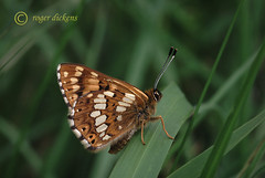 Duke of Burgundy uside 2 (Roger Dickens) Tags: butterfly duke dukeofburgundy prestburyhill