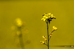 yellow_suite (alamond) Tags: flower nature yellow canon is bokeh seed oil l usm agriculture ef rapeseed 70300 llens brassicanapus f456 2013photochallenge