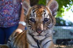 ([rafaela]) Tags: baby zoo tiger filhote tigre