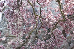 Pink Perfusion: Magnolias (marylea) Tags: pink flowers spring catholic michigan blossoms annarbor magnolia catholicchurch blooms magnolias stthomasaa stthomastheapostlecatholicchurch