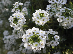 Sweet Alyssum 1 (FreeWine) Tags: flowers moon white snow garden princess sweet alyssum lobularia