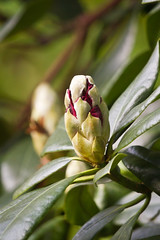 budding rhodedendron (jonathan manasco) Tags: plants flower nature beauty garden spring wildlife flowering buds rhodedendron budding rhodendron