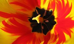 Tulipa Flambae (Puzzler4879) Tags: flowers 2 orange nature rainbow tulips level pointshoot tulipa canonpowershot canondigital canonaseries canonphotography perfectpetals canonpointshoot a580 canona580 canonpowershota580 powershota580 naturescreations amazingdetails flametulips springfllowers creativephotocafe frameit~level01~ rainbowofnaturelevel1red