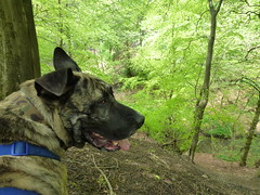 Hooch (The Chairman 8) Tags: dog beck canine valley brindle hooch queensbury shibdenvalley alsationcross shibdenbrook