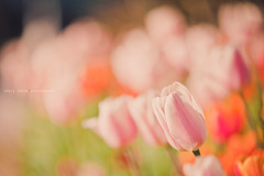 Cuddle with Spring (Ernie Kwong | Photography (catching up again)) Tags: pink orange toronto ontario flower nature canon garden botanical spring bed bokeh pastel cuddle naturephotography tullips edwardsgarden 70200mmf28 5dmarkii