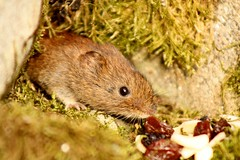 wonder what's for dinner (Suzie Noble) Tags: garden mammal raisins almonds vole bankvole stonedyke strathglass struy