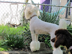 Hey! Look Over Here! (lesliezemenek) Tags: white cords tuxedo moby bruno standardpoodle corded partipoodle