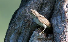 Wryneck at the nest - long lens and a discrete distance from a mobile hide