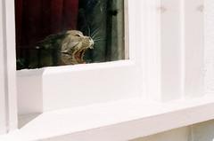 Canon AL-1 + Canon FD 50mm lens (danielcane) Tags: pet cats pets colour eye film window animal animals cat 35mm canon tooth hair fur 50mm grey sussex eyes feline brighton hove teeth curtain yawn 200iso iso negative 35mmfilm 200 vista plus analogue eastsussex windowframe yawning fd canonal1 xyz kemptown colournegative myneighbourhood c41 catinwindow brightonandhove al1 notscary fdlens agfaphoto thelittledoglaughed thecatwhoturnedonandoff keepingacameratohand agfaphotovistaplus