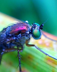 """Green eyed fly... • <a style=""""font-size:0.8em;"""" href=""""http://www.flickr.com/photos/57024565@N00/9403938532/"""" target=""""_blank"""">View on Flickr</a>"""