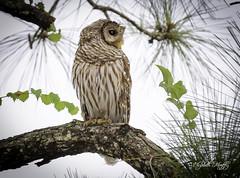Barred Owl (Liza Morffiz) Tags: owls barred