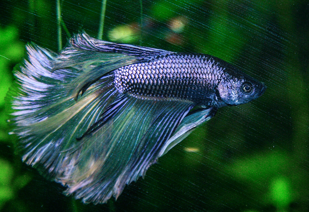The World's most recently posted photos of betta and ...  The World's...
