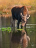 My Reflection (Amy Hudechek Photography) Tags: autumn reflection fall water animal babies moose calf grandtetonnationalpark specanimal happyphotographer mygearandme amyhudechek