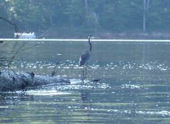 blue heron Photo
