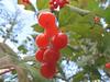Kalyna (Northern Gateway Portrait Photography) Tags: canada edmonton berries cranberries alberta highbush kalyna