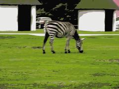 Zebra Hollywood safari park Germany 22nd September 2013 22-09-2013 08-41-43 (Ian Dennis) Tags: park germany september safari hollywood zebra 22nd 2013 084143 22092013