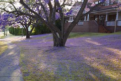 Purple Carpet 2013-10-19 (Photos by Rodney) Tags: trees fuji australia brisbane fujix100s x100s