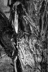 20131019 Tree with character (Degilbo on flickr) Tags: tree bark monochromesetting fujifilmxpro1 fujinonsuperebcxf55200mm13548