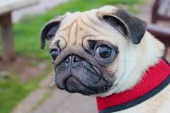 """Did you say something""? (cmo247) Tags: dog pet cute animal canon coast funny pug devon kawaii budleigh 600d vision:food=0536"