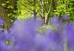 Bluebell Wood (1963chris) Tags: wood flowers blue trees nature leaves bluebells rural woodland countryside spring nikon raw sigma blurred foliage telephoto bark greenery wildflowers springtime d5100