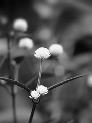 Intermezzo in black and white (STEHOUWER AND RECIO) Tags: macro black white bw flowers bulaklak bloemen philippines populartags tag tags popular photography photo image composition camera capture