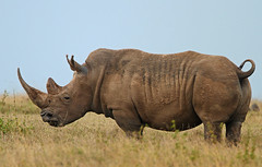 A price on his head? (Rainbirder) Tags: kenya whiterhino whiterhinoceros ceratotheriumsimum solioranch rainbirder grassrhino
