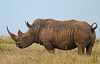 A price on his head? (Rainbirder) Tags: kenya whiterhino whiterhinoceros ceratotheriumsimum solioranch rainbirder grassrhino