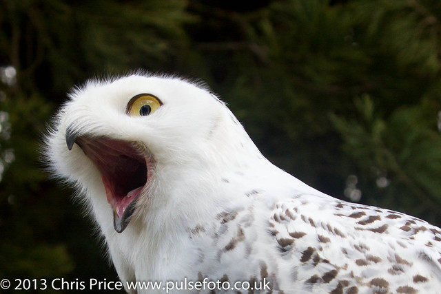 PF0304 Snowy Owl.jpg