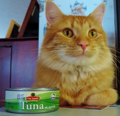 Leo Loves His Tuna (rabidscottsman) Tags: scotthendersonphotography verticalformat cat seafood tuna animalphotography animal pet petphotography orange orangecat canoftuna cannedfood catfood nikon nikonp520 p520 coolpix inthekitchen ourfamily
