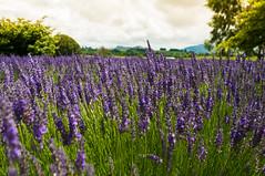 Lavender (jandch) Tags: plant flower green purple nz northisland lavendar alphra