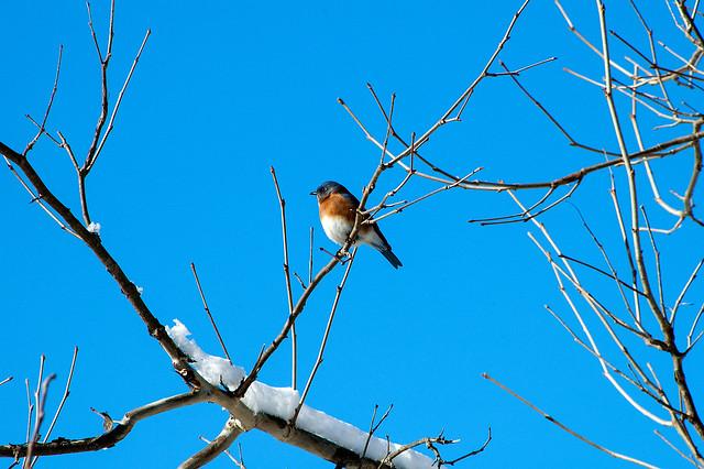 Griffy Lake - Eastern Bluebird - January 3, 2014