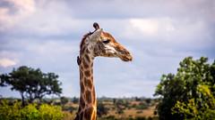 Hello there! (toulousi) Tags: southafrica giraffe südafrika krüger flickrstruereflection1 flickrstruereflection2 flickrstruereflection3 flickrstruereflection4 olympusomd olympusem5