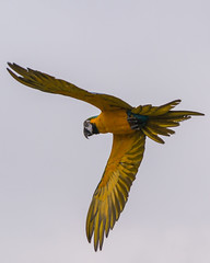 Pretty Polly...... (Suggsy69) Tags: sky bird zoo fly flying nikon flight parrot colchesterzoo d5200