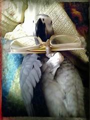 Zoe (Patx977) Tags: pet animal grey parrot africangrey flickrandroidapp:filter=none