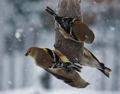 Gotta eat-even in storm (MissyPenny) Tags: winter snow pennsylvania wildlife goldfinch finch southeasternpa bristolpennsylvania birdsinpennsylvania pdlaich missypenny
