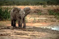 little 'un (Brett Terry) Tags: elephant nature bull ellie trunk calf herd tusk flickrandroidapp:filter=none