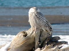 Snowy Owl II (BILL914) Tags: ocean coast maine driftwood owl coastline snowyowl biddefordpool biddefordmaine