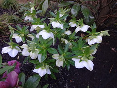 DSC02768 (Julie70 Joyoflife) Tags: flowers london spring fevrier photostroll photojuliekertesz midfebruary springwalksinlondon springflowersinfebruary