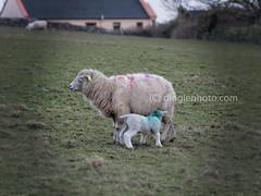 A lamb getting nourishment from its mother (dinglepeninsula) Tags: ireland spring sheep dingle lamb peninsula